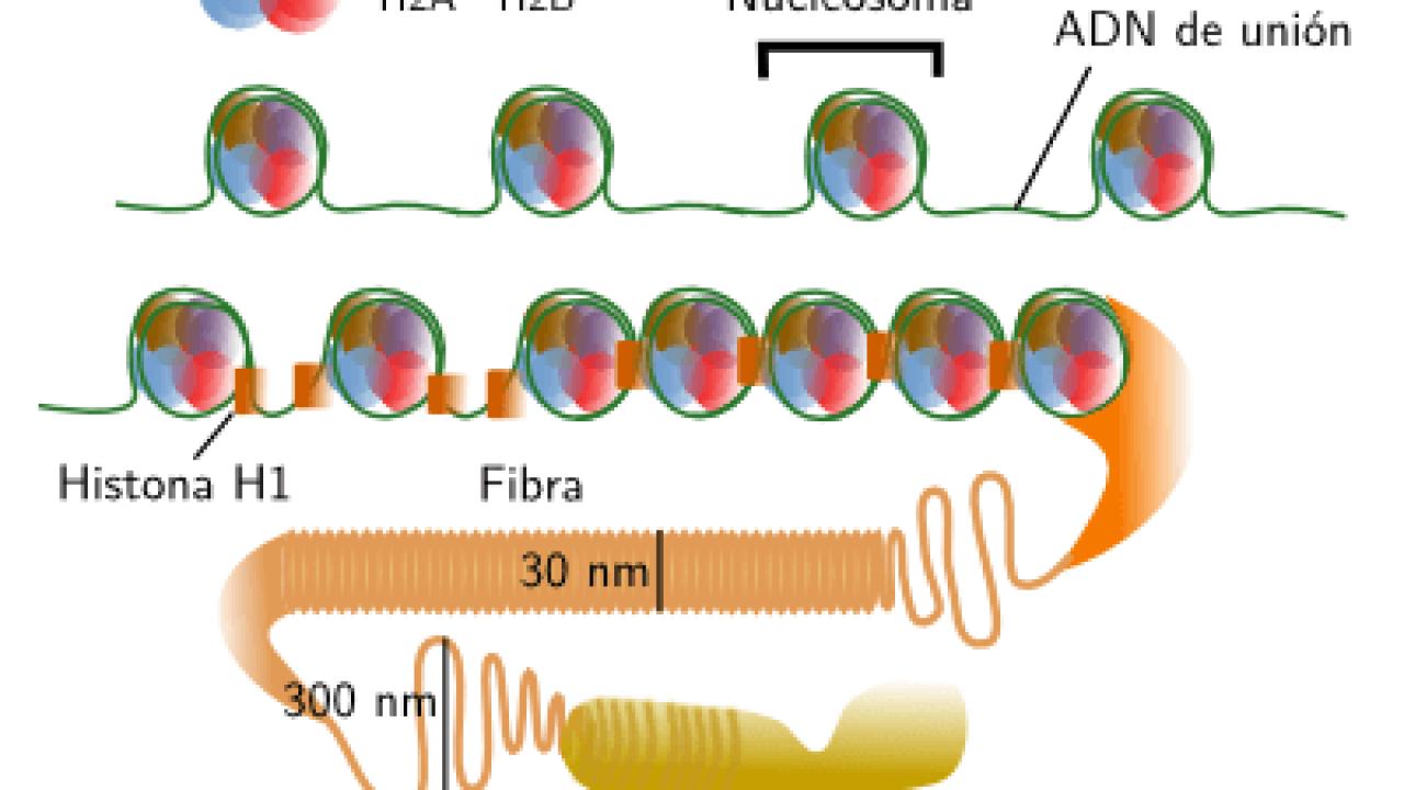 La Organización Del Material Genético Adn En Cromosomas