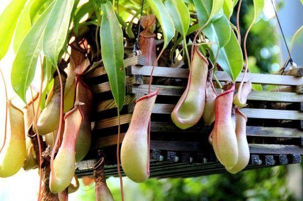 Plantas carnívoras del género Nepenthes