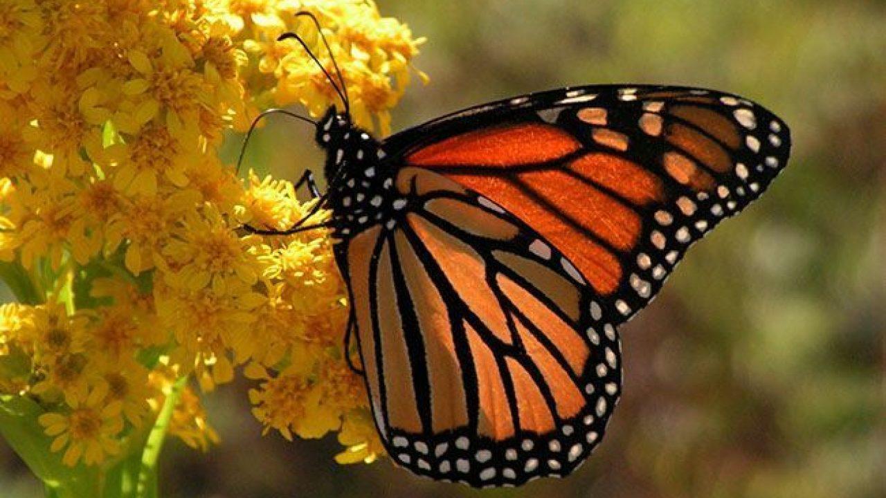 Mariposas: características y curiosidades   cienciaybiologia.com